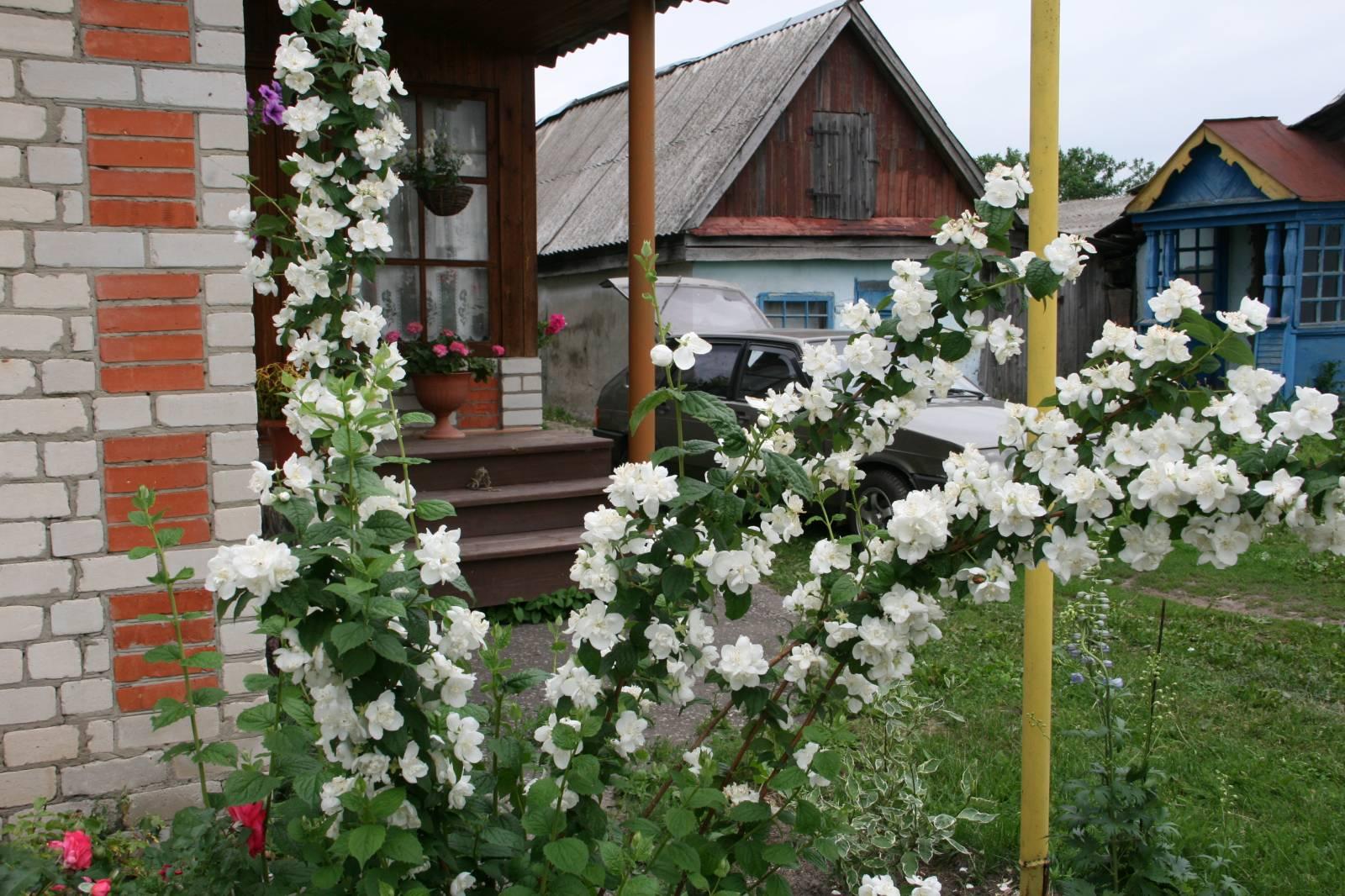 Выращивание в саду чубушника 90