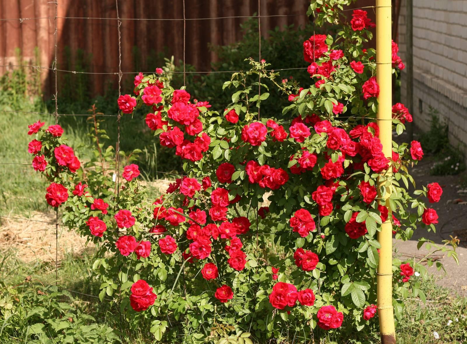 Роза плетистая виктория 3